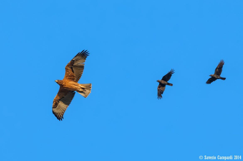 Aquila di Bonelli giovane inseguita da Taccole foto di Saverio Cacopardi 943301 Photo Gallery