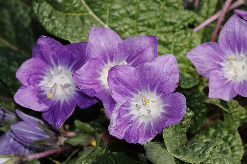 Fiore di Mandragora autunnale Foto Fabio Cilea Photo Gallery